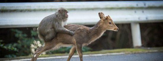 El mono que intenta tener sexo con una cierva muy dispuesta