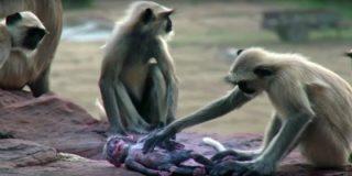[VÍDEO] Así llora una manada de monos la 'muerte' de un robot espía de la BBC