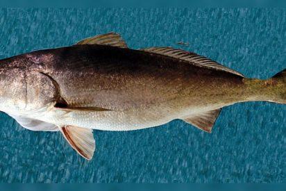 Este pez se vende más caro que la cocaína por su poder afrodisíaco