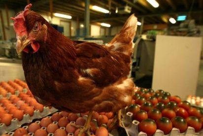 ¿Sabías que las gallinas, gallos y pollos no son tan tontos como nos habían contado?