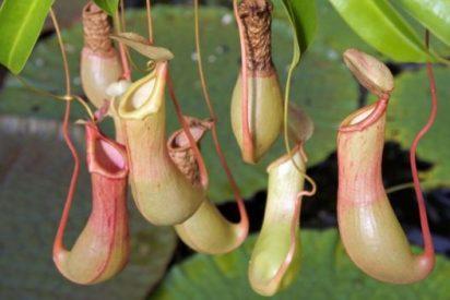 ¿Sabes por qué algunas plantas son carnívoras?