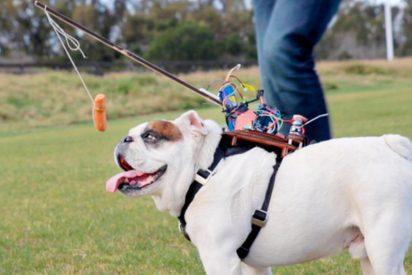 ¿Manejar un perro a control remoto?, un invento muy 'cutre'