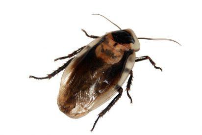 ¡Horror!: La mujer que tenía una cucaracha viva dentro de su cabeza