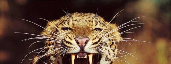 El vídeo del feroz ataque de un leopardo al actor de Harry Potter en Botsuana