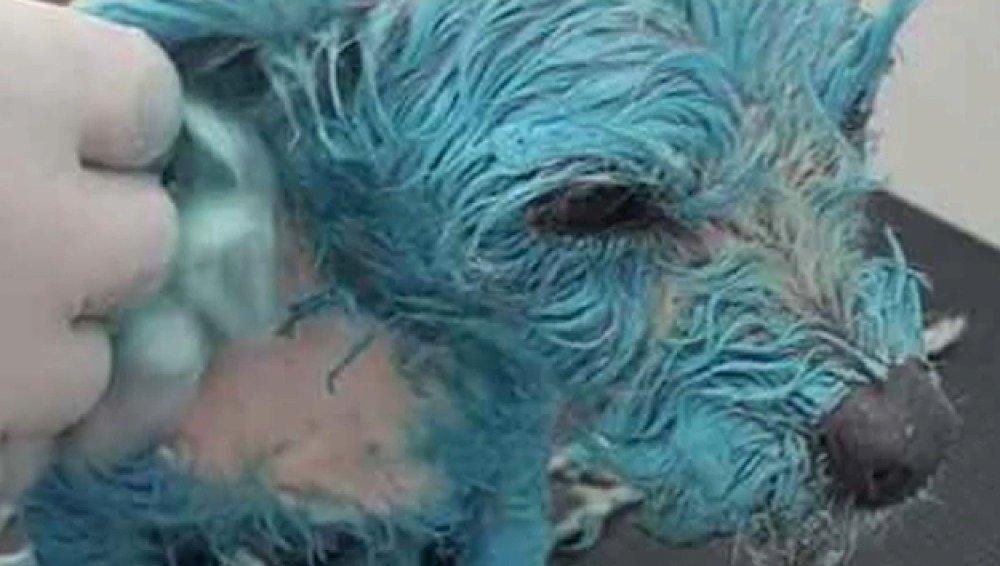 Bañan a una perrita en pintura azul, le hacen beber disolvente y la tiran a un depósito de agua