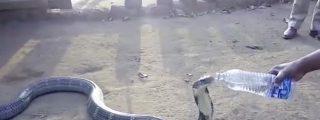 [VÍDEO] La enorme cobra asesina que bebe mansamente de una botella de agua