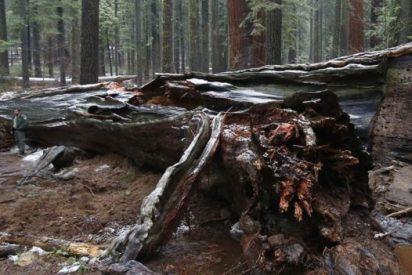 Los árboles muertos son un negocio millonario en California, EE.UU.
