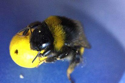 Alucinarás con estos abejorros futbolistas