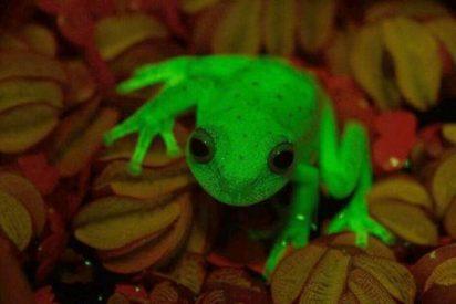Descubren una inquietante rana fluorescente
