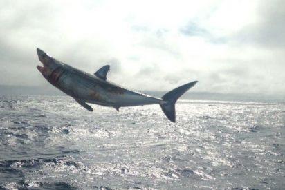 Arriesgado rescate de cuatro tiburones atrapados ilegalmente