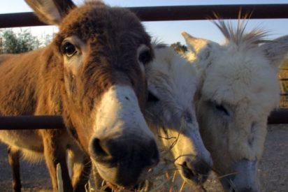 Los burros en peligro de extinción por una exótica gelatina medicinal china