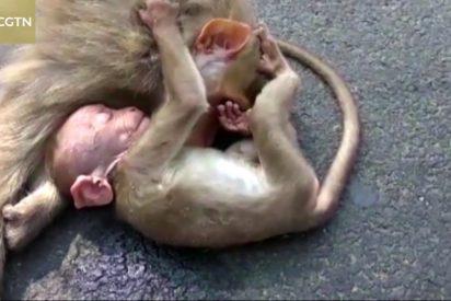 El emotivo vídeo del bebé mono que llora ante el cadáver de su madre atropellada