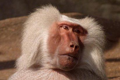 Descifran el código de venganza de los macacos