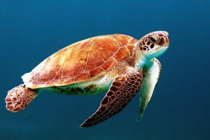 Insólito: Una tortuga se tragó casi 1000 monedas de la buena suerte en un estanque