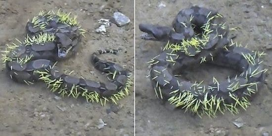[VÍDEO] El terrible drama de la serpiente que se come a un vengativo puercoespín