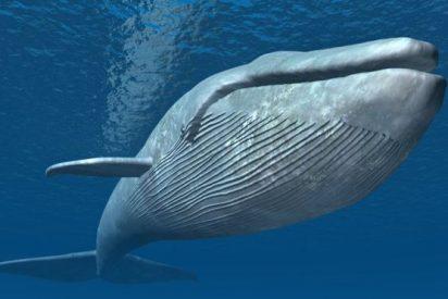 ¿Sabes por qué la ballena azul es el animal más grande de la historia?
