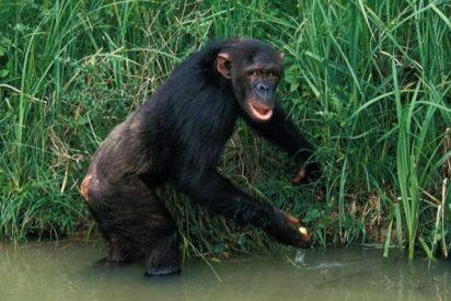 Los chimpancés son de los pocos mamíferos que no saben nadar