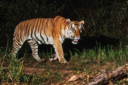 Avistan una población de tigres de los que solo quedan unos 200 ejemplares