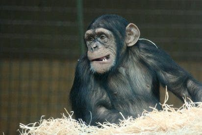 Test de la ignorancia: ¿Te atreves a competir con el chimpancé?