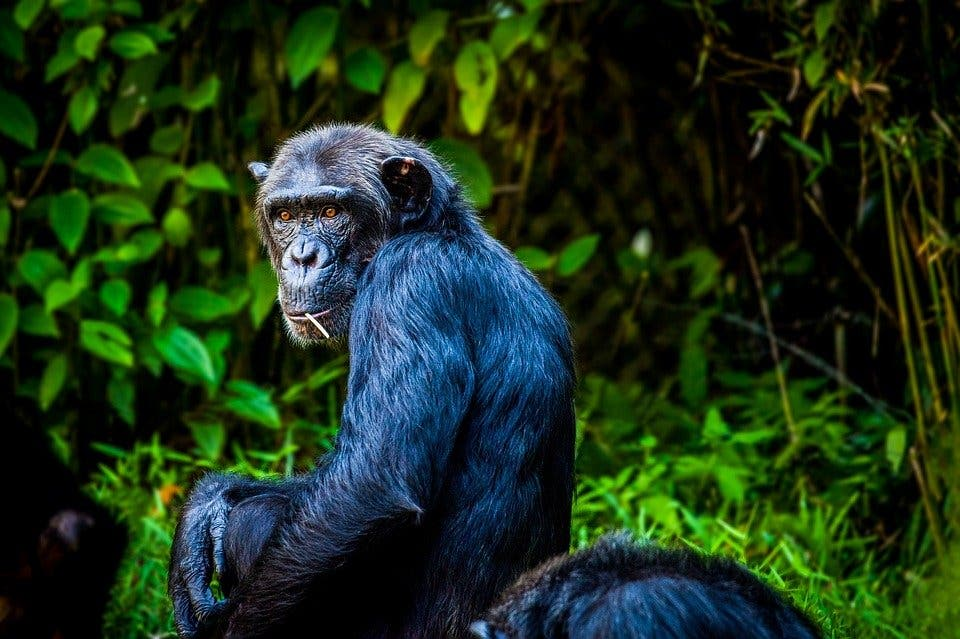 Científicos observan los primeros ataques letales de chimpancés sobre gorilas
