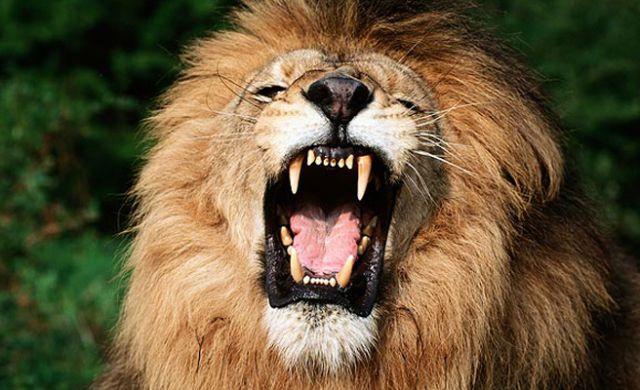 El fiero león doméstico que ha atacado a un niño de once años