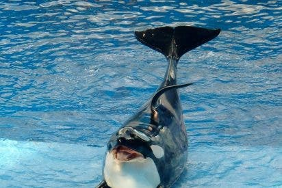 Nace otra orca en cautiverio, en los polémicos parques acuáticos SeaWorld
