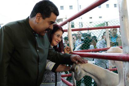 Maduro les pide a unas vacas 'chavistas' que le apoyen en su golpe de Estado