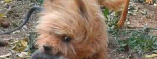 El perro que ha sacrificado su vida para salvar a su dueña de una serpiente venenosa
