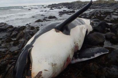 Hallan dentro de una orca grandes niveles de un contaminante prohíbido hace más de 40 años