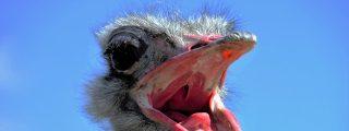 Cuando el avestruz se cabrea y ataca con furia al hombre