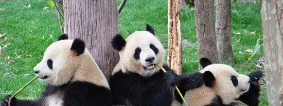 ¿Sabes por qué los pandas son blancos y negros?