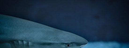 [VÍDEO] Esto es lo que pasa cuando lanzan un atún gigante a tiburones hambrientos