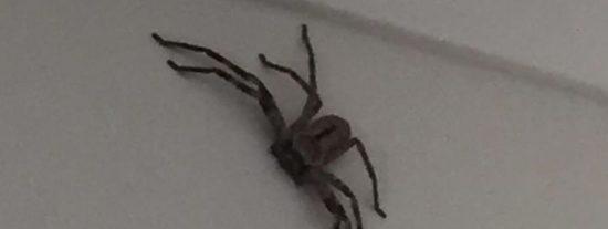"""'La madre de todas las arañas"""" inmune a los venenos que han soltado en un jardín"""