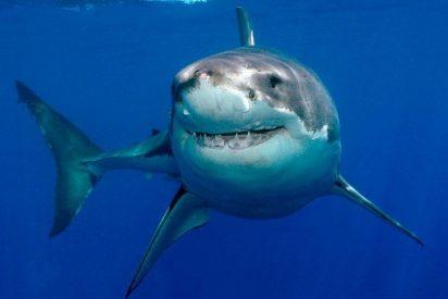 [VÍDEO] Un tiburón 'suplica' a un buceador que retire un cuchillo de su cabeza