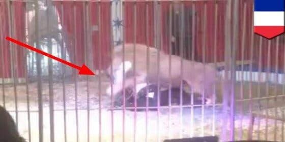[VÍDEO] El león que ataca a su domador de circo frente a unos niños aterrorizados