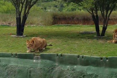[VÍDEO] Una leona ataca de un salto a los visitantes de un parque, pero pasa esto