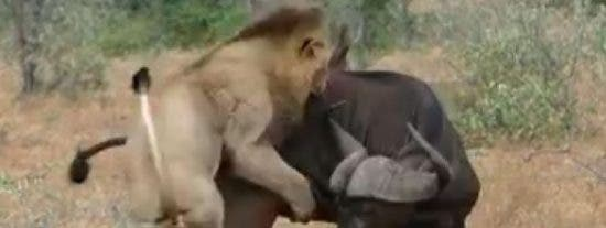 Así fue la venganza de los búfalos a estos dos leones abusones