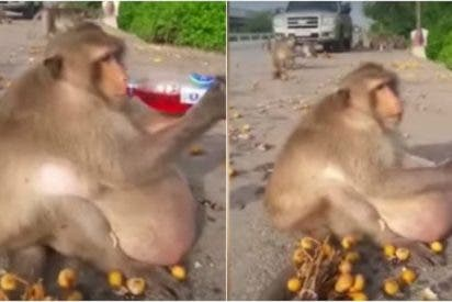 [VÍDEO] 'Tío Gordo' el mono obeso que se alimentaba con comida basura