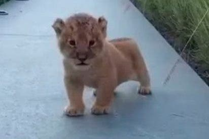Vídeo Viral: el pequeño león intenta rugir como un gran león, pero solo provoca ternura