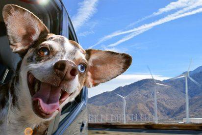 [VÍDEO] Por esto no hay que dejar que el perro lleve la cabeza por fuera de la ventanilla del coche