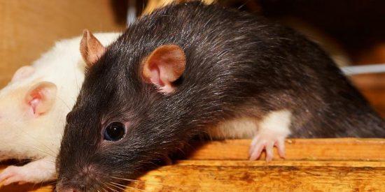 El abogado de las ratas