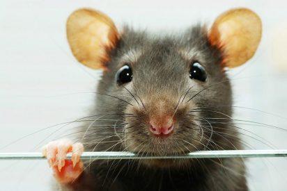 [VÍDEO] Truco para atrapar a una rata