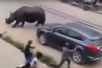 Impactantes imágenes de un rinoceronte cazando humanos en la ciudad