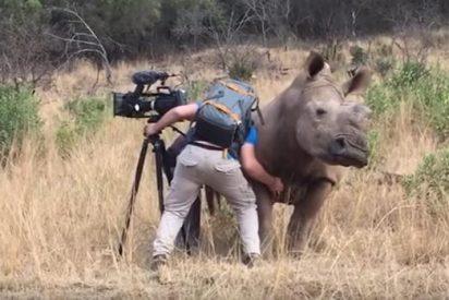 [VÍDEO] ¡INSÓLITO!: La hembra de rinoceronte que le pide a un cámara que le rasque la barriga