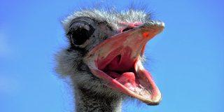 ¡Atención! : este bicho llamado avestruz es un enemigo peligroso