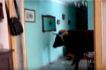 [VÍDEO] ¡INSÓLITO! Un toro se cuela en una casa y desata el pánico dentro