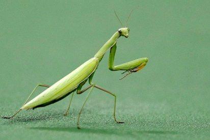 La terrible imagen de una mantis devorando la cabeza de un pájaro