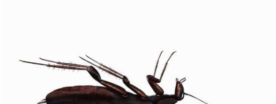 ¿Por qué casi siempre que encuentras una cucaracha muerta en tu casa está patas arriba?