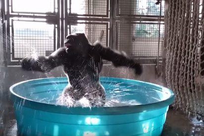 Este gorila haciendo 'breakdancing' se vuelve viral en la Red