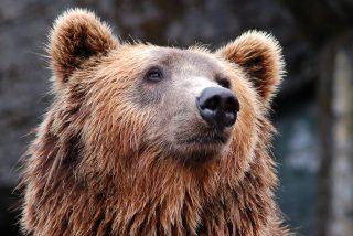 La impresionante habilidad de este oso pardo escalando una pared vertical